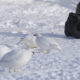 Photographing ptarmigans