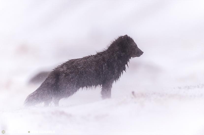 Arctic Fox, Vulpes lagopus fuliginosus