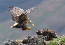 Sea Eagle landing at the nest with alive lumpfish