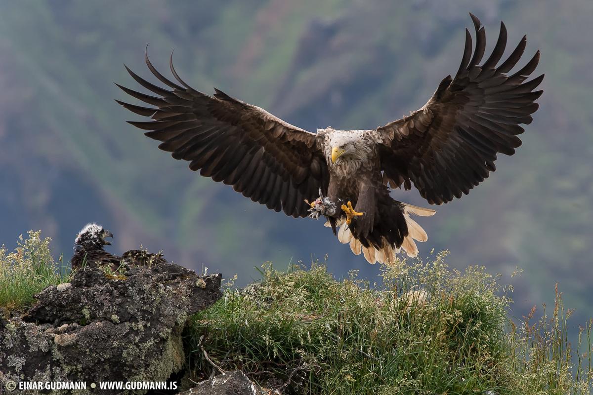 White-tailed eagle - Sea-Eagle.