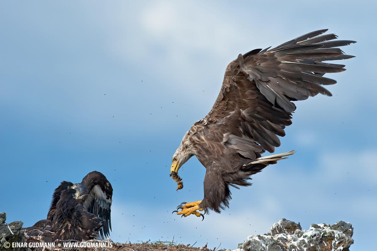 Haförn, Sea-eagle